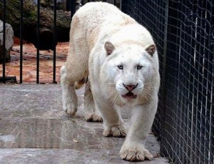 Mexique cartel tigre blanc