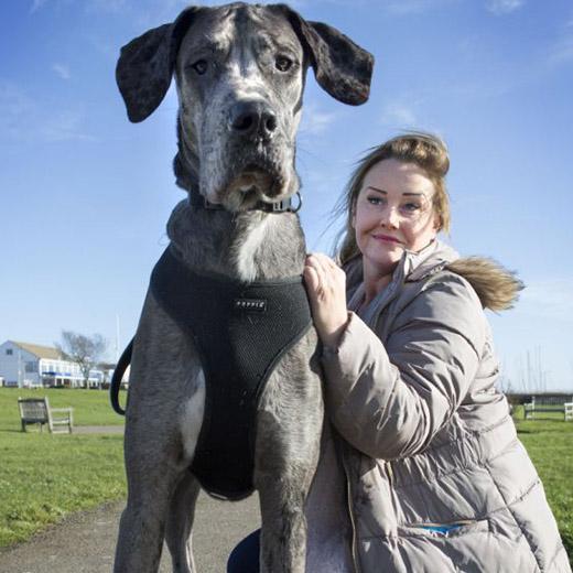 freddy chien anglais danois le plus grand chien enorme