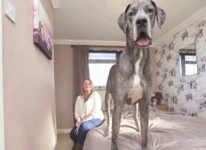 freddy chien anglais danois le plus grand dog