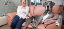 plus grand chien du monde anglais freddy claire dogue allemand