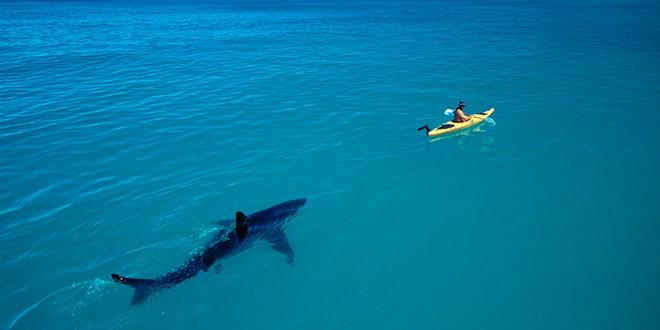 attaque requin marteau kayak pecheurattaque requin marteau kayak pecheur