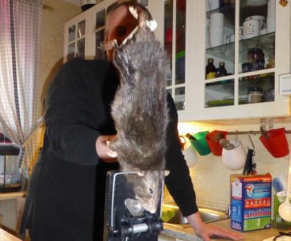 geant rat suede