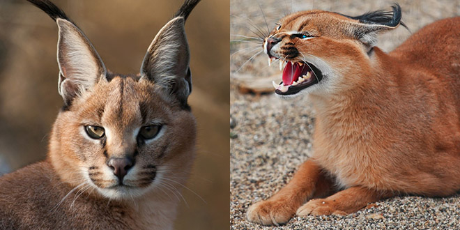 lynx caracal zoo enfant mordu