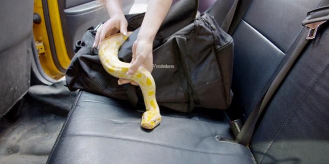 mettre un serpent dans un taxi