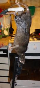 rat geant suede