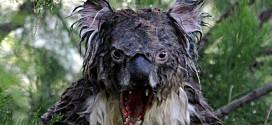 koala dangereux drop bear australie
