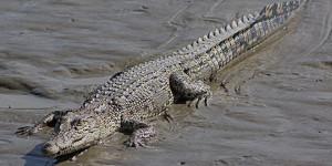crocodile marin australie