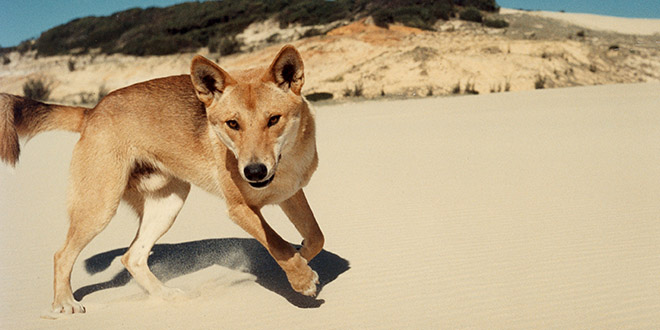 dingo chien australie