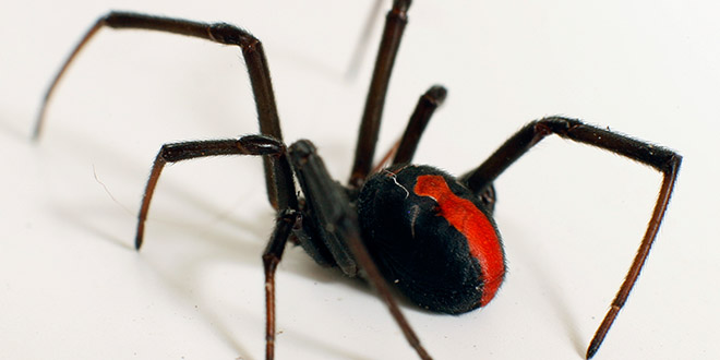 red back araignee
