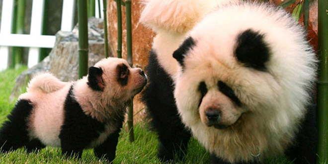 chien panda bebe
