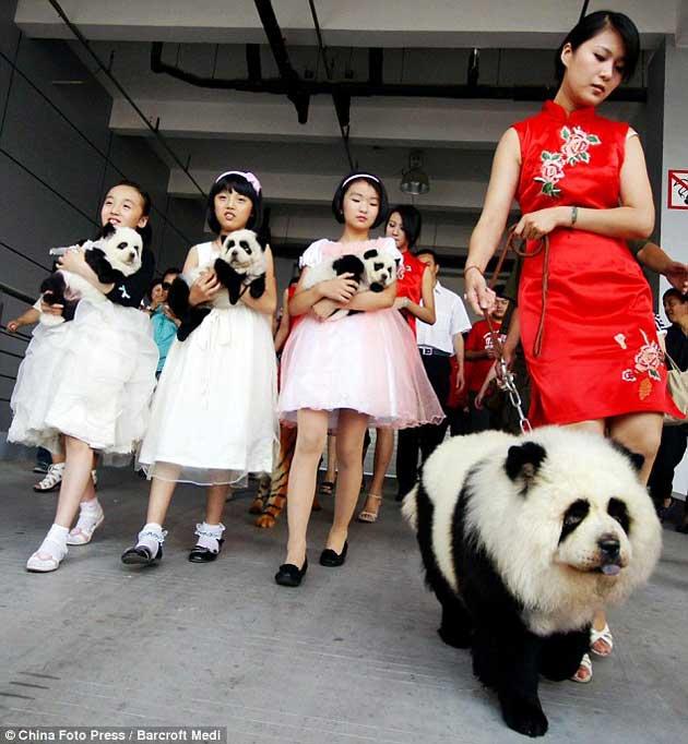 chien panda