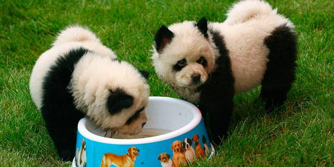 chien qui ressemble panda
