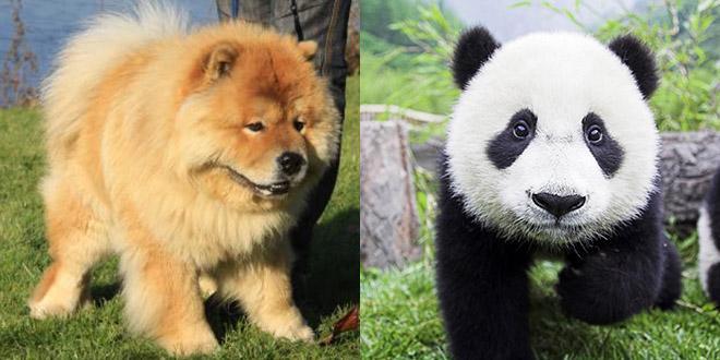chowchow mix panda