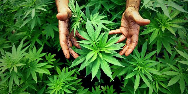 cannabis russie moscou gazon