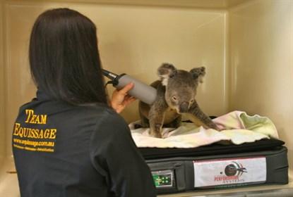 koala agrippé accroché arrière voiture 90 km autoroute australie claude lacasse