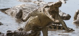 attaque de crocodiles