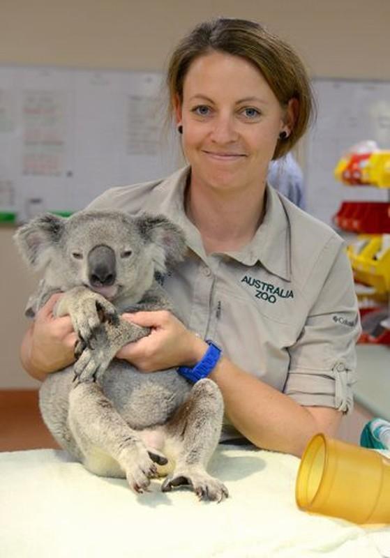 koala agrippé accroché arrière voiture 90 km autoroute australie veterinaire