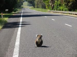 koala agrippé accroché arrière voiture 90 km autoroute australie