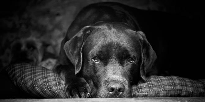 peter-labrador-look-my-friend-the-best-dog
