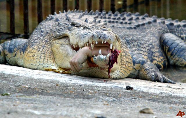 crocodile attaque un homme