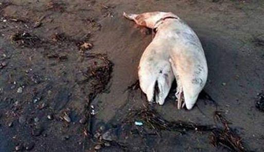 dauphin siamois deux têtes échoué plage turquie