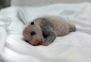 video de la naissance de triplés bébs pandas en chine