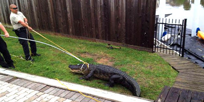 alligator cover