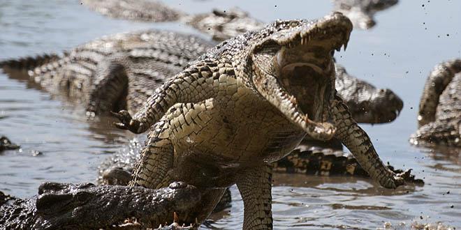 crocodile cover