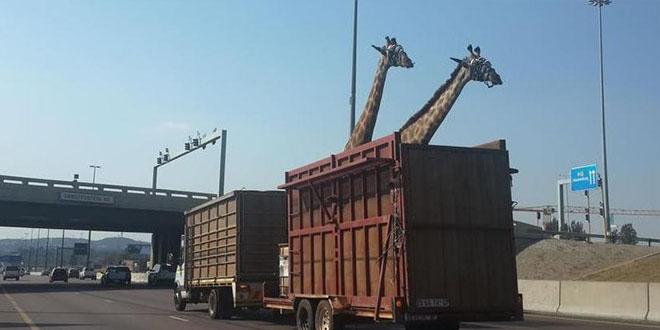 girafe lors d'un voyage