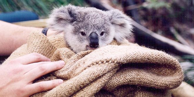 koala sauve bouche a bouche