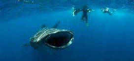 requin baleine cover