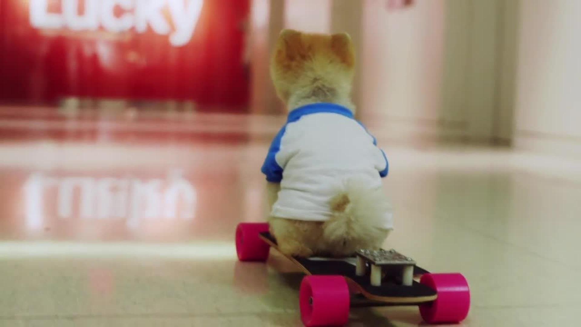 Jiff le Pomeranian chien skateJiff le Pomeranian chien skate