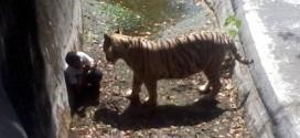 attaque tigre blanc cover