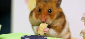 concours hot dog hamster