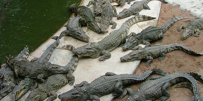 ferme aux crocodiles bangkok suicide