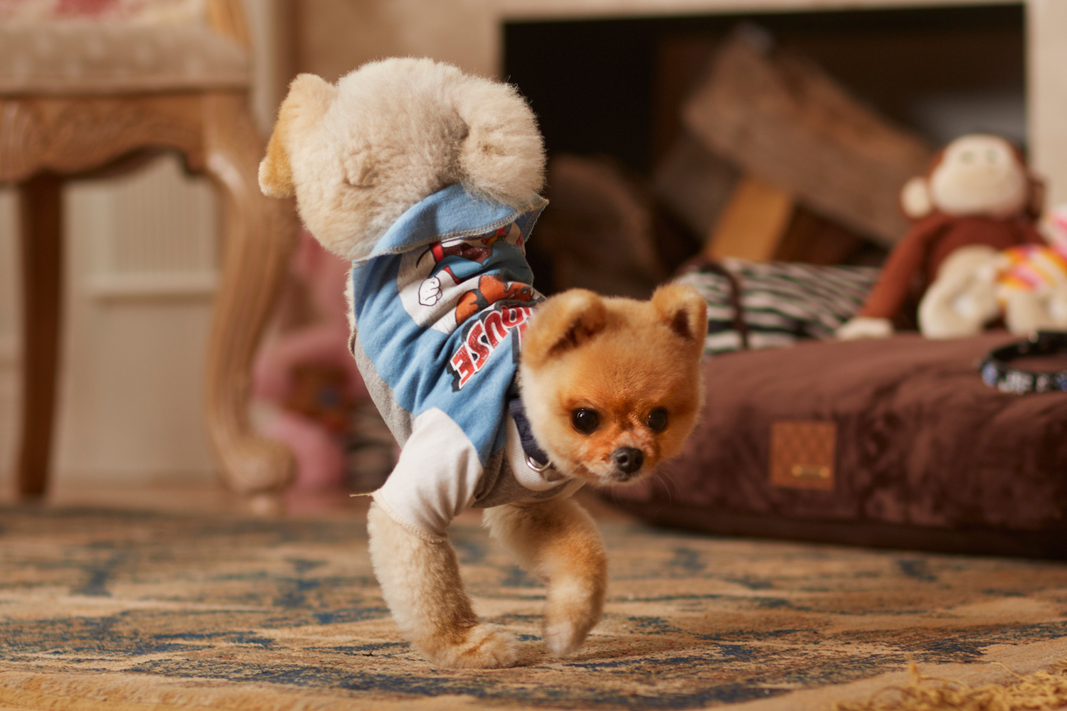 Jiff le Pomeranian chien