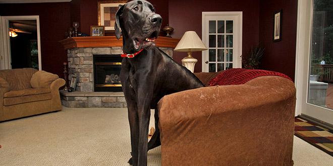 le chien le plus grand du monde