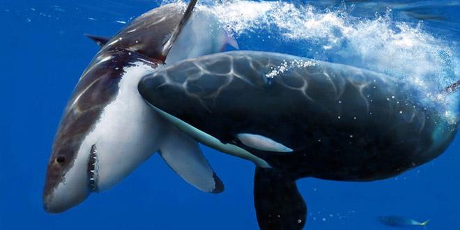 orque attaque tue requin