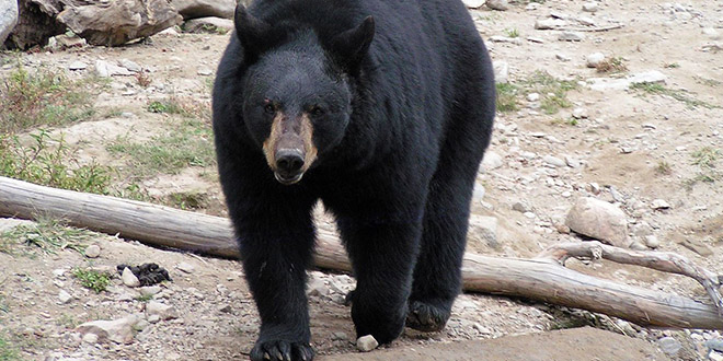 ours noir attaque mort