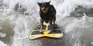 Surf City Surf Dog chien californie