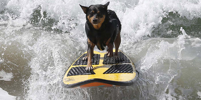 Surf City Surf Dog chien californie