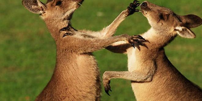 bagarre kangourous australie