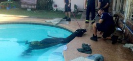 cheval piscine usa pompiers