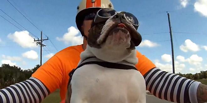 chien motard bouledogue