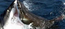 requins blancs combat australie