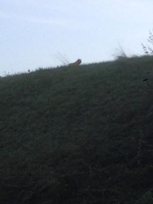 tigre en ville