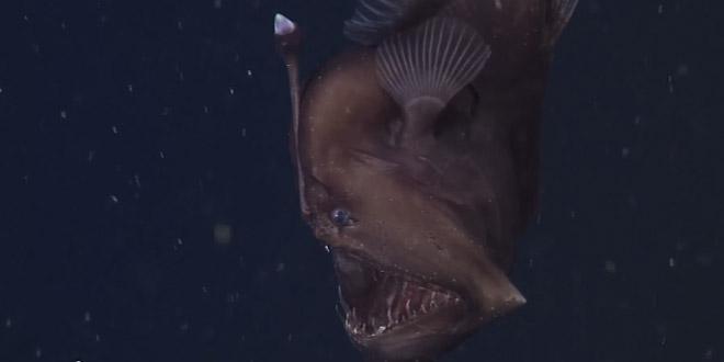baudroie abyssale filme premiere fois poisson horrible