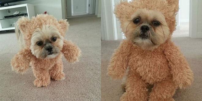 deguisement ourson petit chien Munchkin le shih tzu