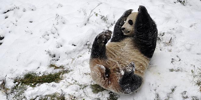 panda neige luge canada zoo