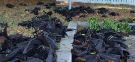 Vidéo : Une pluie de chauves-souris mortes s'abat en Australie